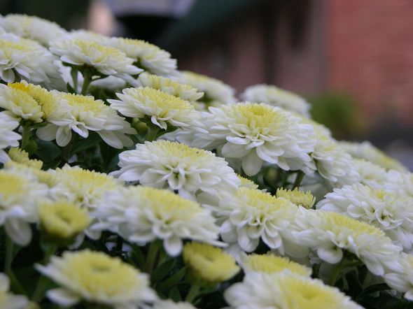 1024px-Chrysanthemum_Bunch_Closeup_3264px