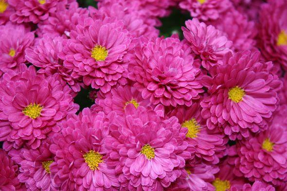 1024px-Chrysanthemumkjfmartin