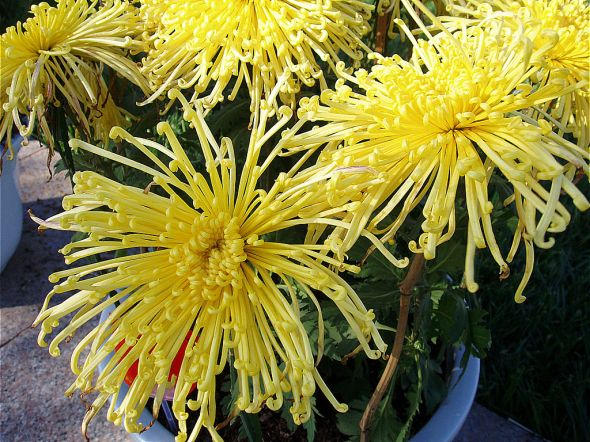 1024px-ChrysanthemumMorifolium4