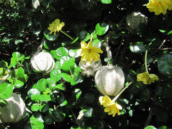 1024px-Gardeniavolkensii-flowers&foliage&fruit