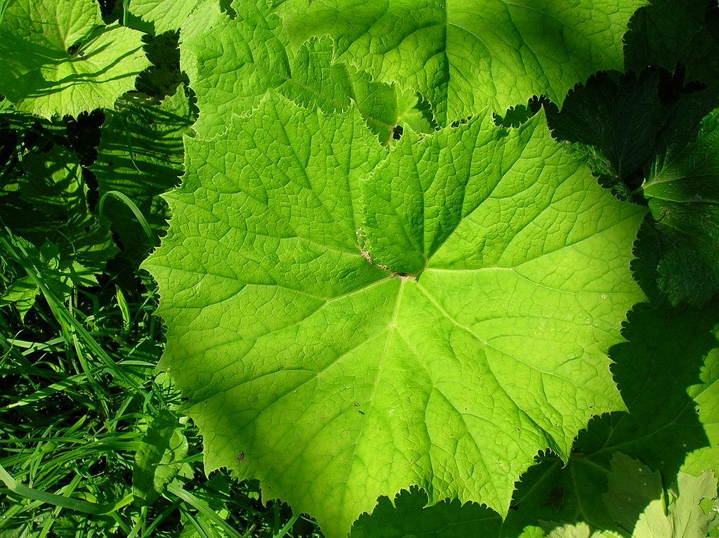 Butterbur petasites hybridus plant care guide auntie for Large garden plants