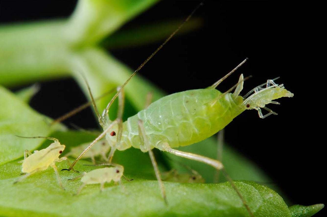 How to identify and control Aphids in the Garden