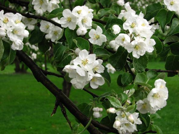 Apple_blossom_(Malus_domestica)_06