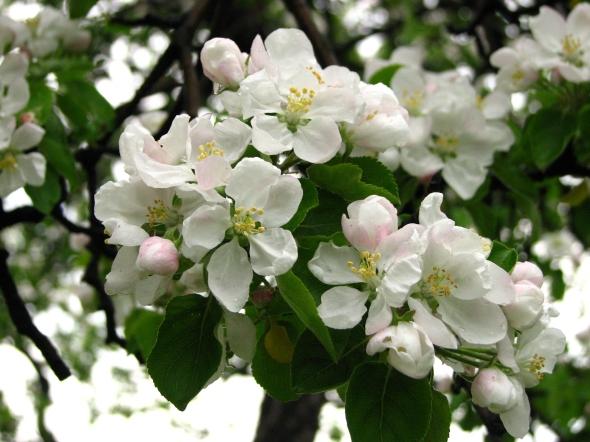 Apple_blossom_(Malus_domestica)_09