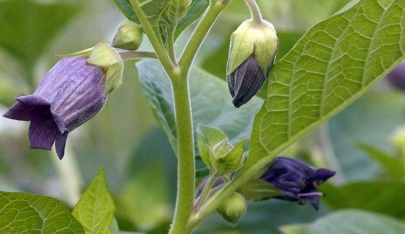 atropa-belladonna-l