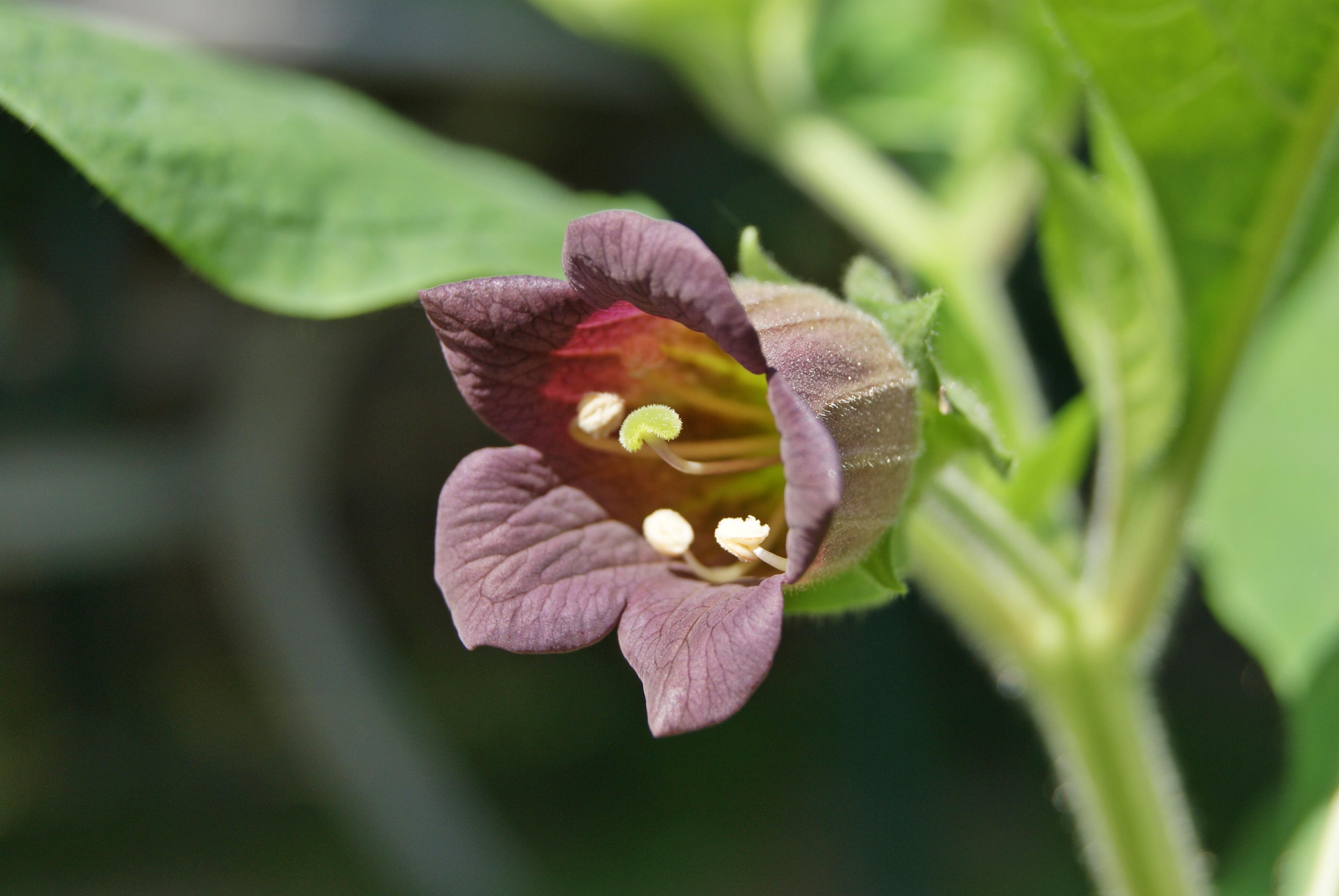 deadly night shade flower