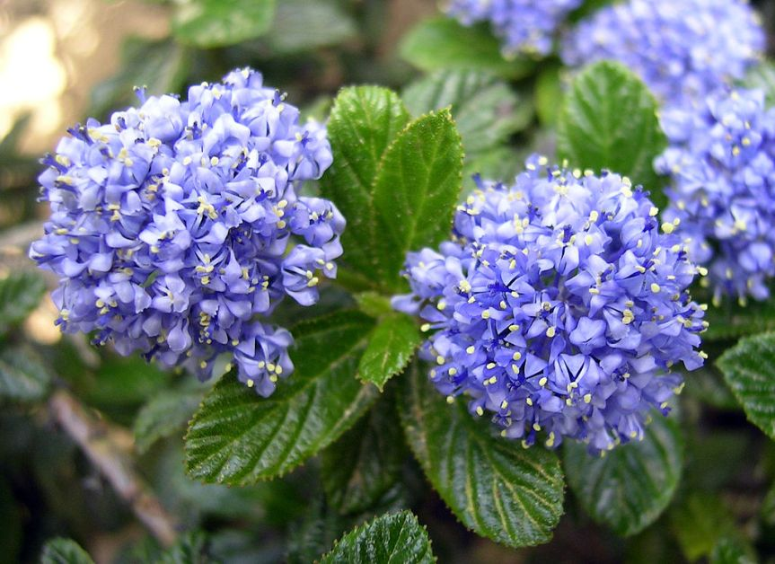 Image result for ceanothus