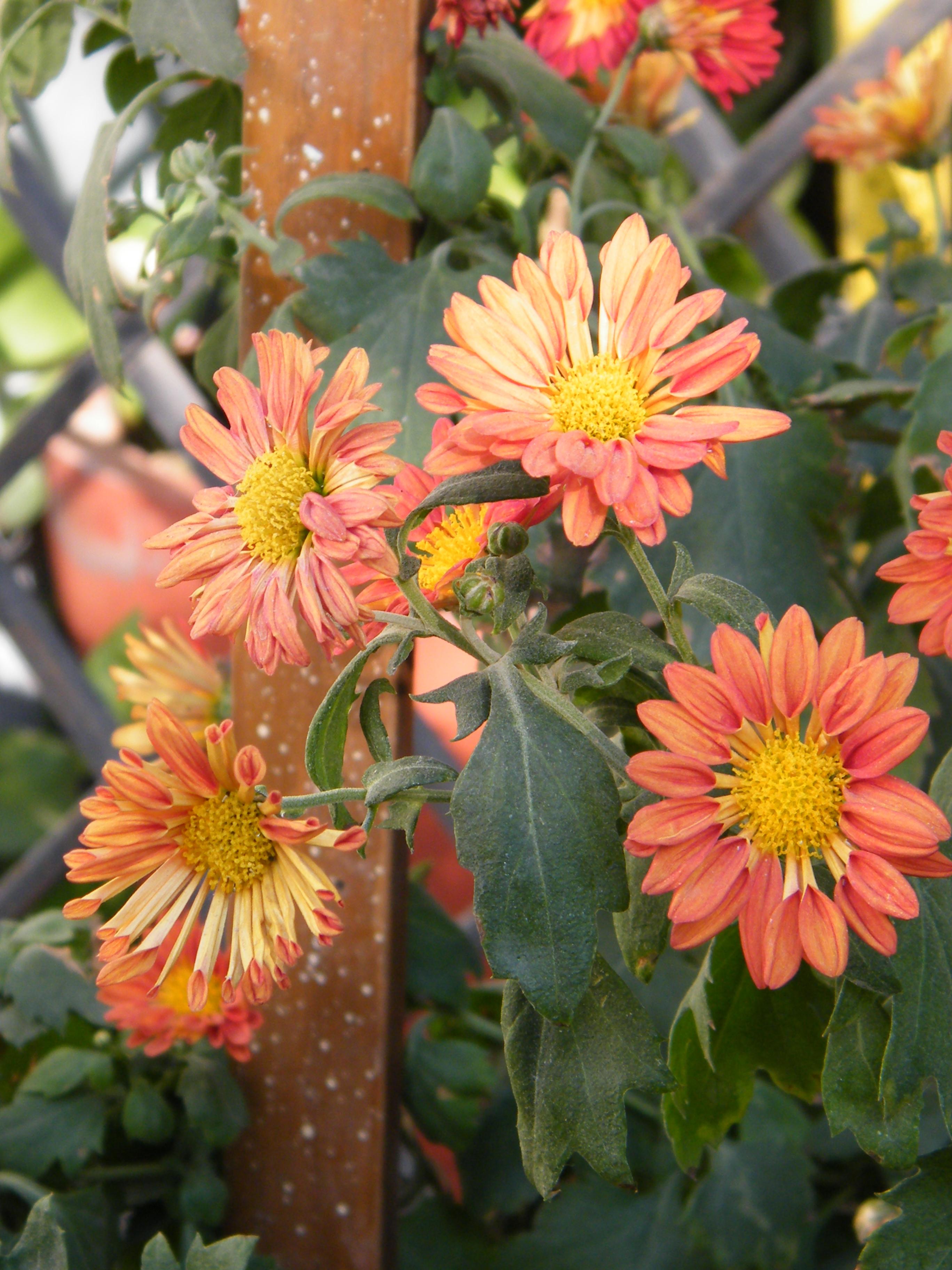 Chrysanthemum Plant Care Guide ~ Varieties | Auntie Dogma ... - photo #48