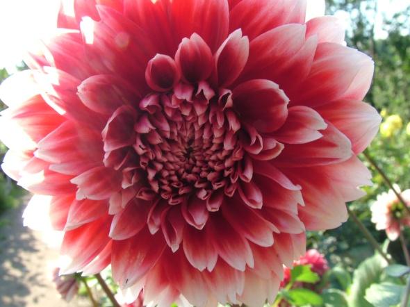 Dahlia-decorative-pink-white-flower