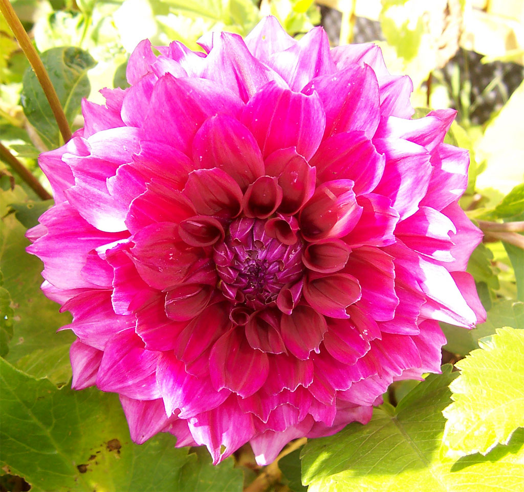 Dahlia plant care guide auntie dogma 39 s garden spot for Flowers that look like dahlias