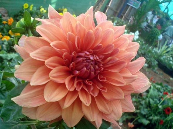 Dahlia_flower_8