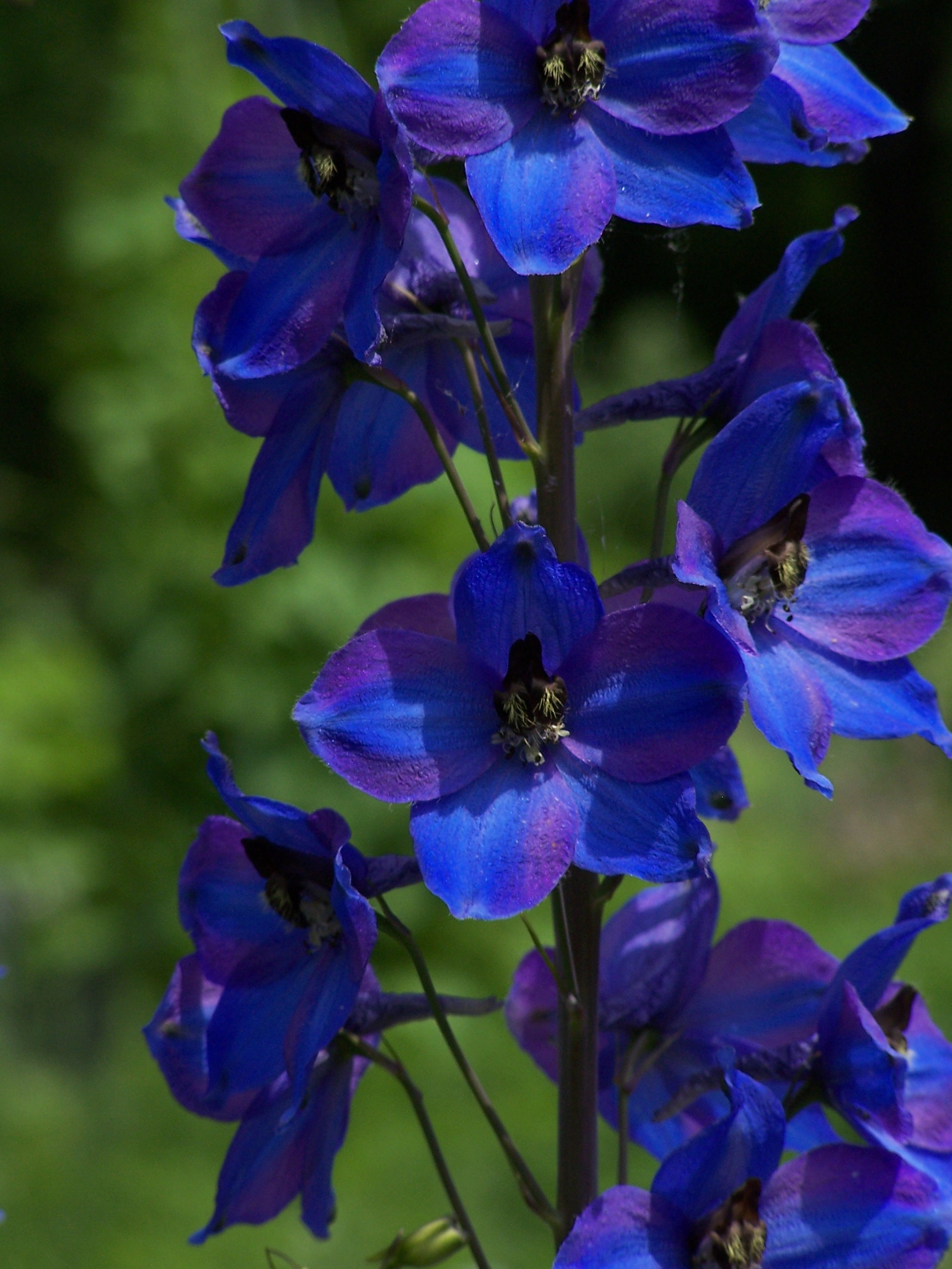 July Birth Flower ~ Larkspur | Auntie Dogma's Garden Spot