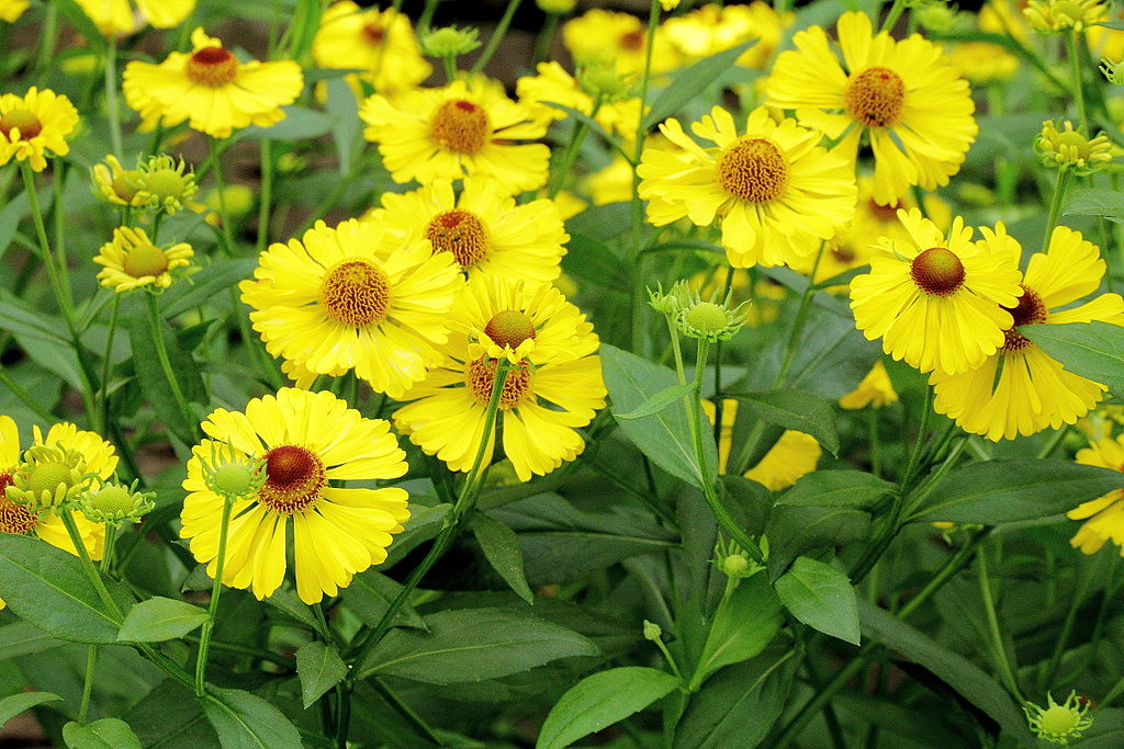 Sneezeweed Helenium Autumnale Plant Care Guide Auntie