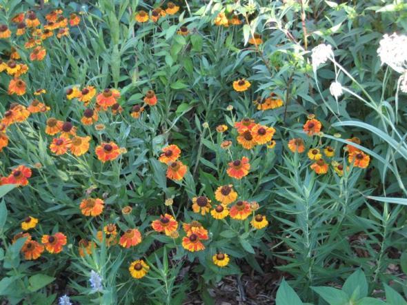 Helenium_autumnale_big_plant_st
