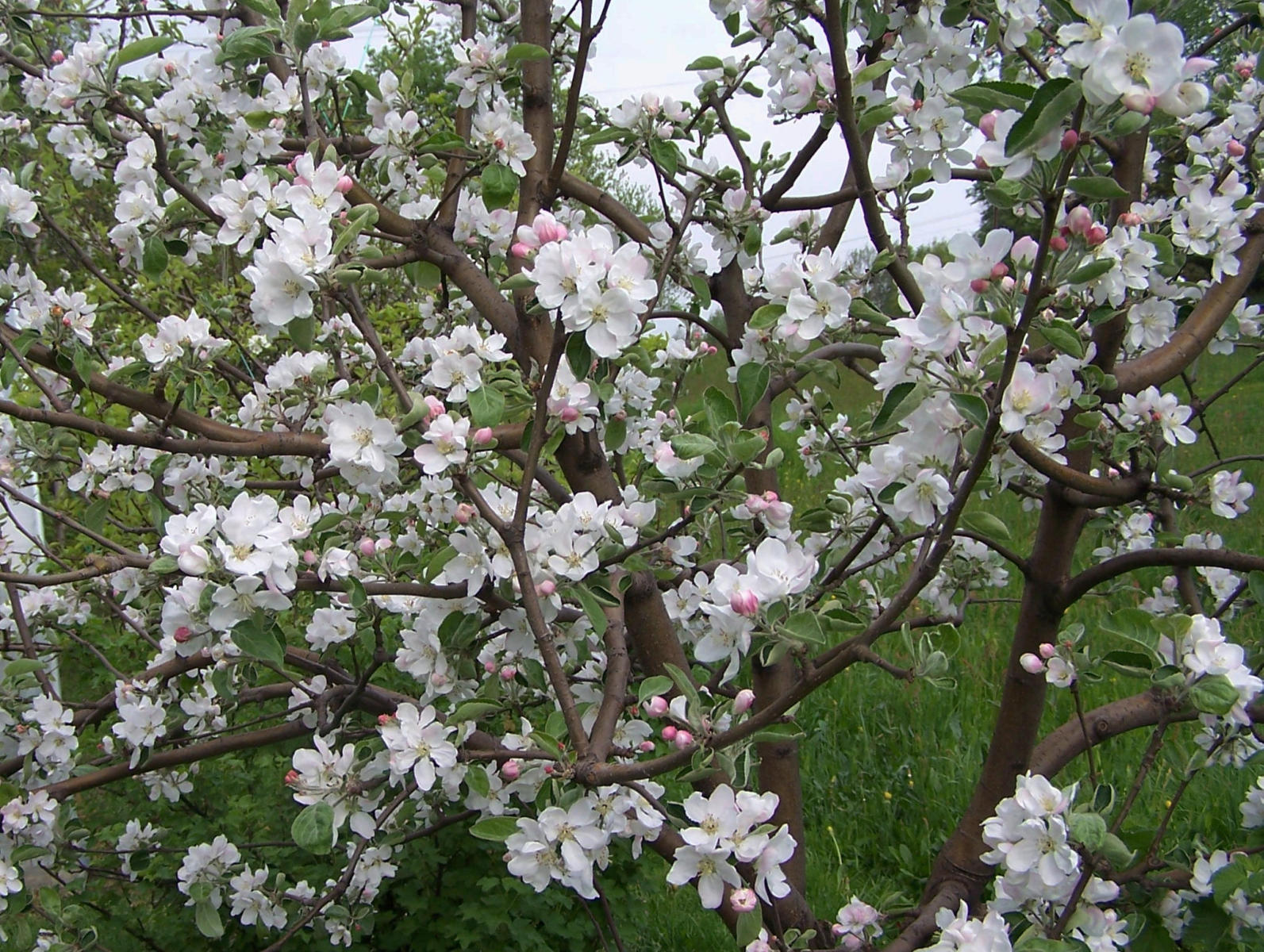 How to care for an apple tree in spring, summer and autumn Planting, pruning and caring for apple trees 6