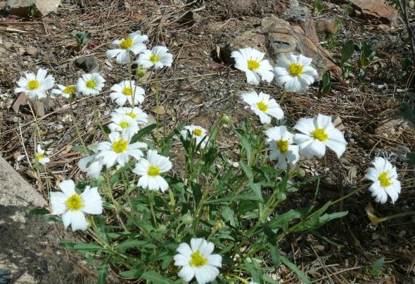 Melampodium-leucanthum