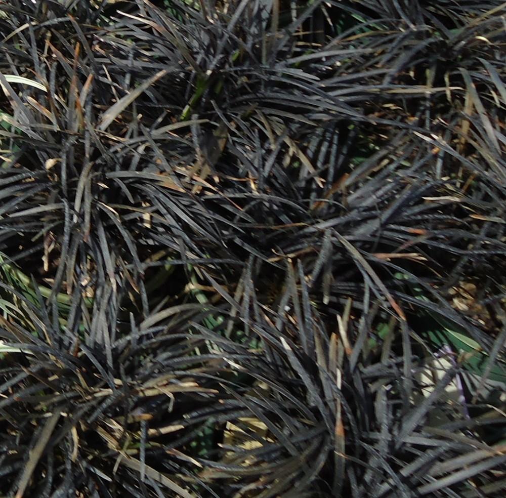 Perennial Grasses Care : Black mondo grass ophiopogon planiscapus plant care