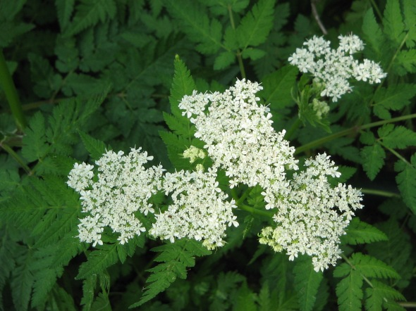 Myrrhis_odorata_flowers