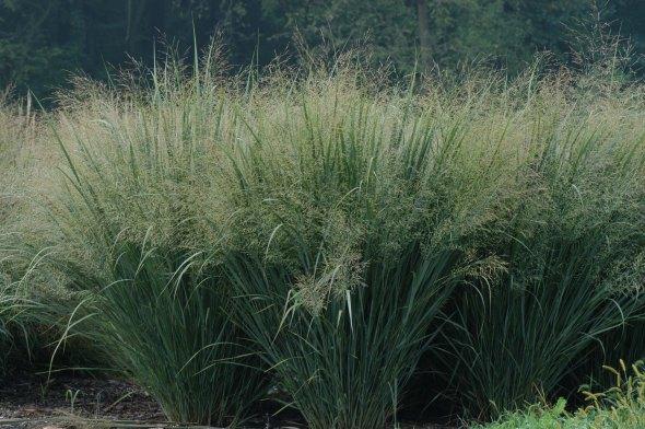 ornimental_switchgrass