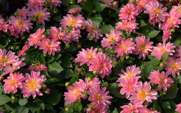 pink-dahlia-flowers-dsc00292-1