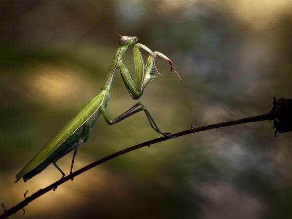 praying-mantis-branch_68759_990x742