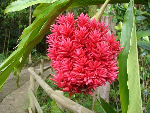 Red_ginger_flowerhead