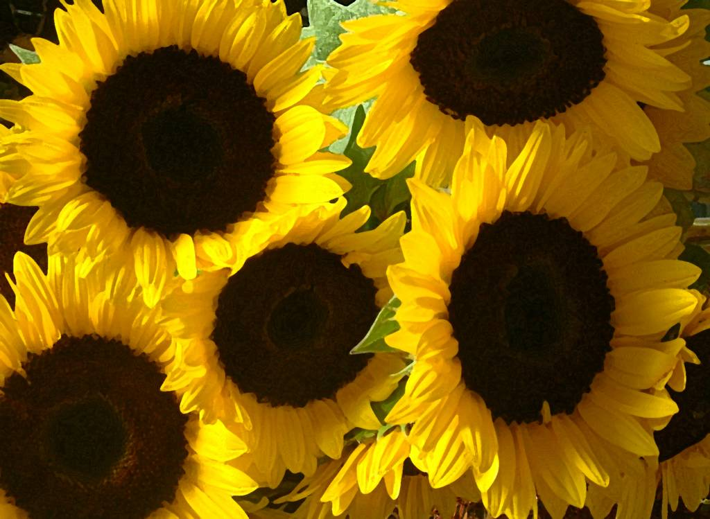 sun flowers and flower - photo #44