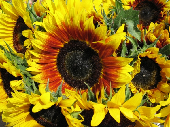 Sunflowers_in_Nova_Scotia
