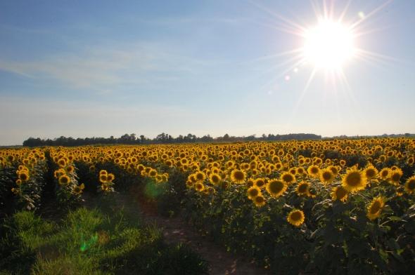 SunflowerSunset2