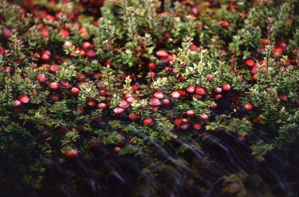 1024px-Cranberry_bog