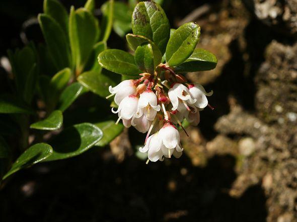 1024px-Vaccinium_vitis-idaea_(flowering)