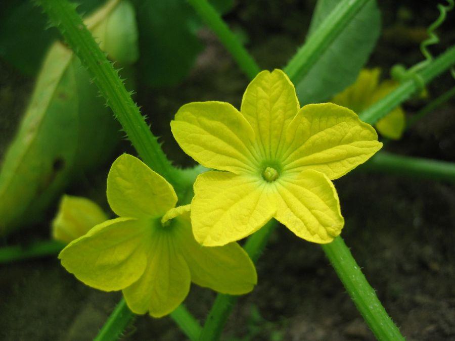 Resultado de imagen para CANTALOUPE MELON plant