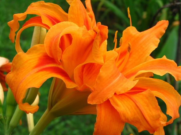 1280px-Orange_Daylily