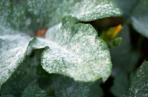 1280px-Powdery_mildew_on_pumpkin_leaves_1