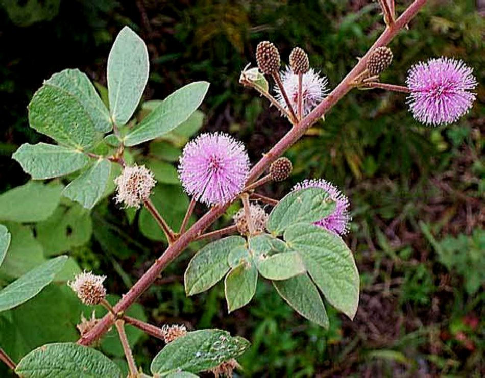 Vilcacora herb