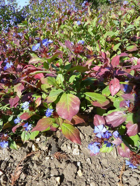 768px-Ceratostigma_plumbaginoides_'Hardy_Blue-Flowered_Leadwart'_(Plumbagnaceae)_plant