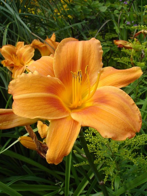 768px-Hemerocallis_Rocket_City1UME