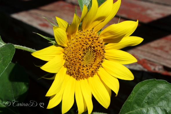 carinas sunflower 2013