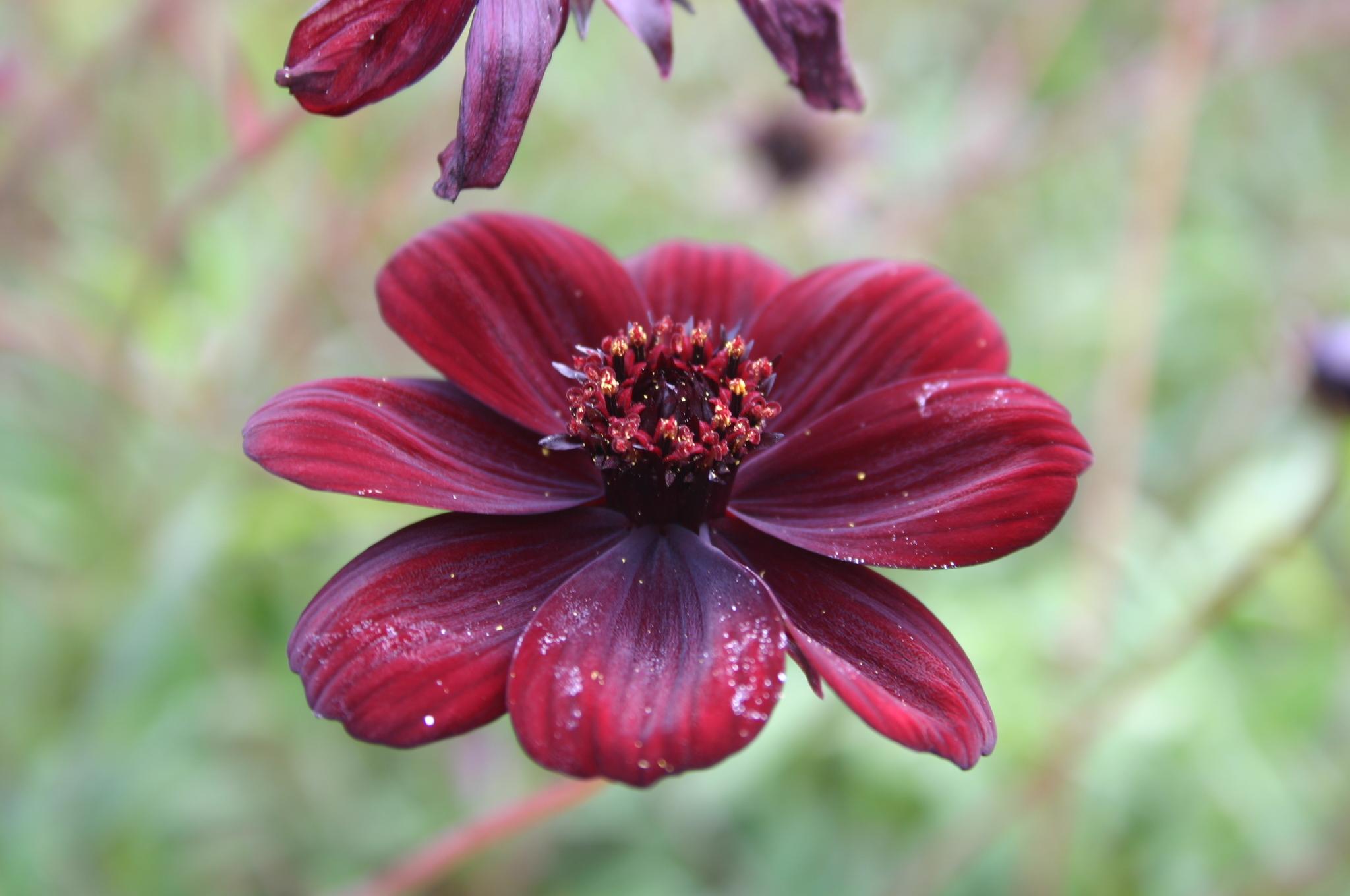 cosmos | Auntie Dogma's Garden Spot