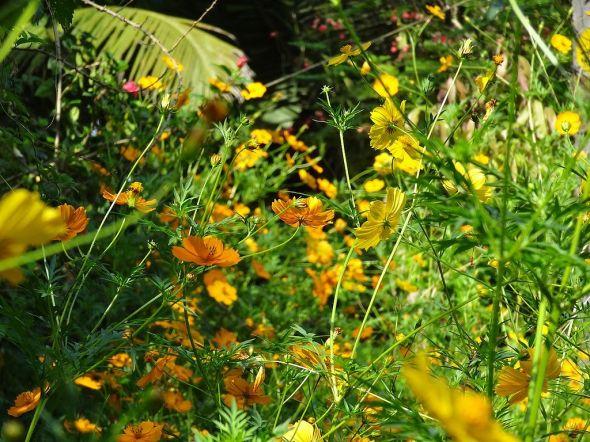 Cosmos_yellow_orange