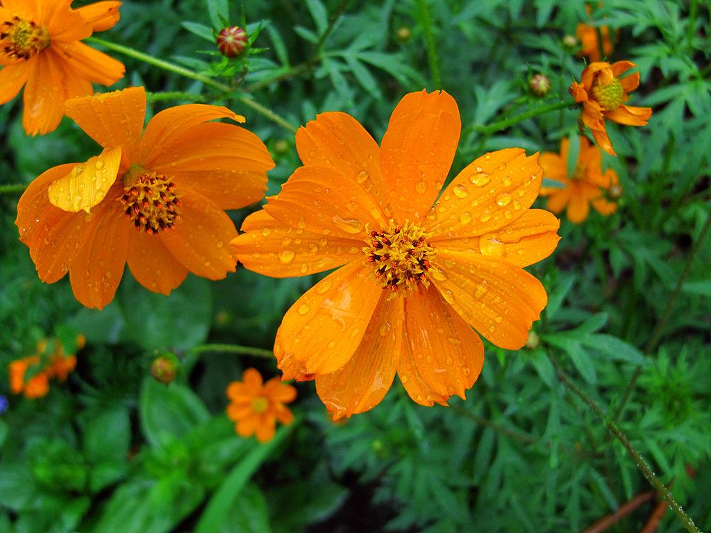 Perennial auntie dogmas garden spot cosmos mightylinksfo