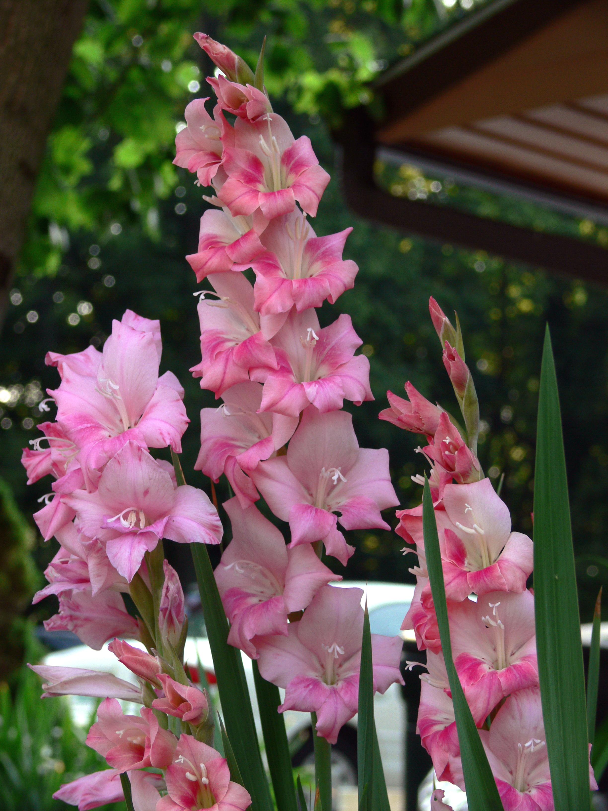 August birth flower auntie dogmas garden spot august birth flower gladiolus izmirmasajfo