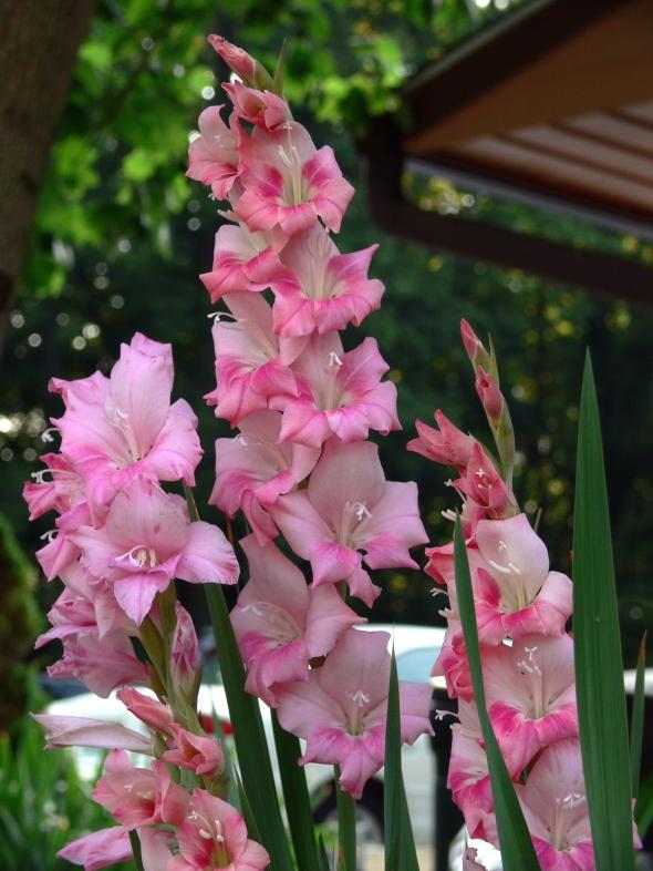 Gladiolus_7-19-06