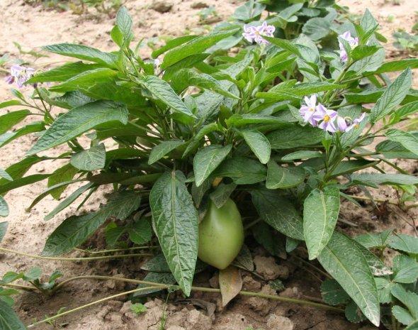 Solanum_muricatum_Flower_and_Fruit