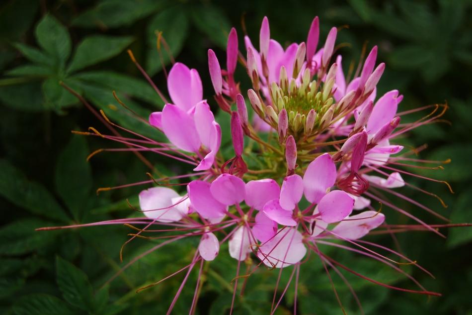 cleome hassleriana plant care guide spider flower auntie dogma 39 s garden spot. Black Bedroom Furniture Sets. Home Design Ideas