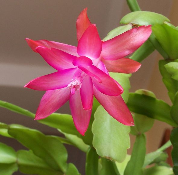 Schlumbergera_Buckleyi_Group
