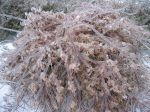 1280px-Ice_Encased_Bush_in_Winter