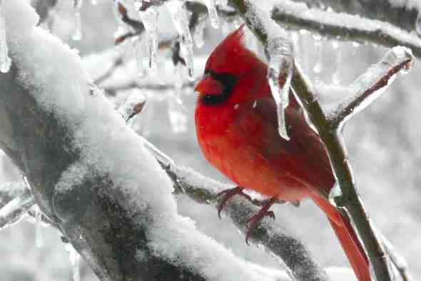 cardinalwinter
