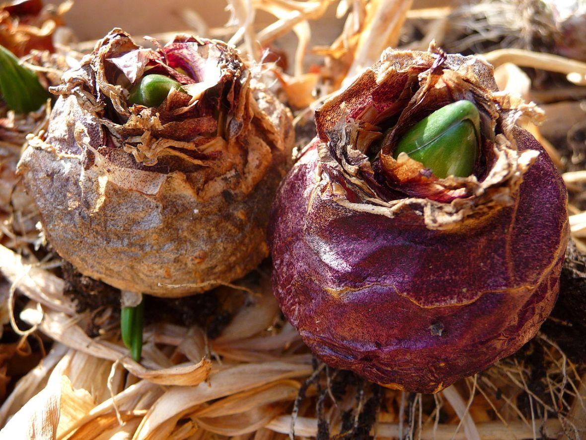 Как выглядят луковицы цветов фото и названия