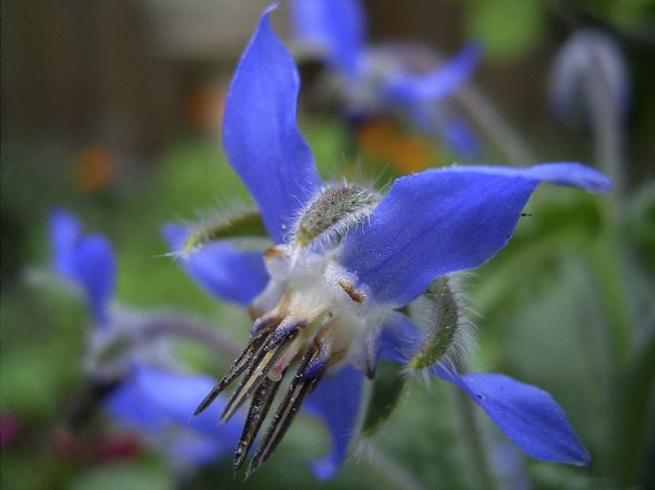 1280px-Borage-flower-hr